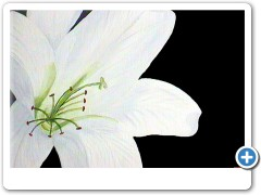 white-lilly